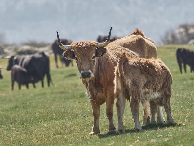 Корова с детенышем теленка ест на лугах