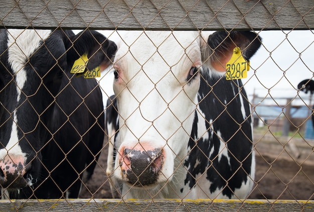 A cow with sad eyes behind bars in the paddock. the concept of cruelty