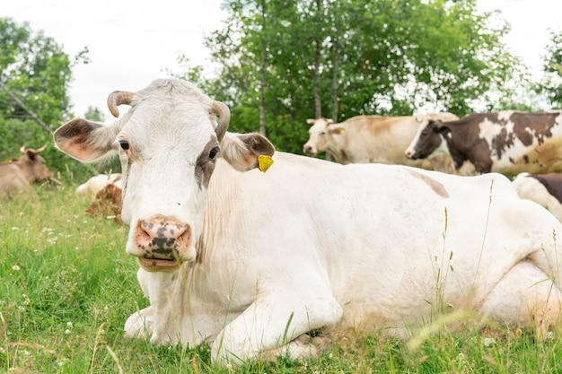 Cow with sore eyes in a meadow