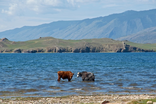 The cow and yak standing in water . the shore of baikal lake