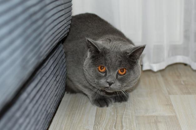 部屋のソファの後ろに隠れている臆病な灰色の猫