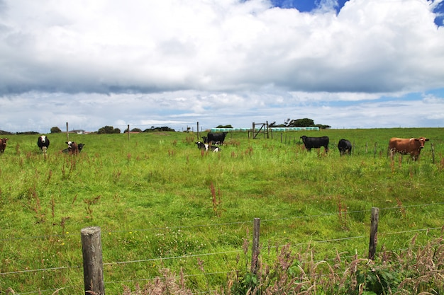 Cowe on hills and fields of new zealand