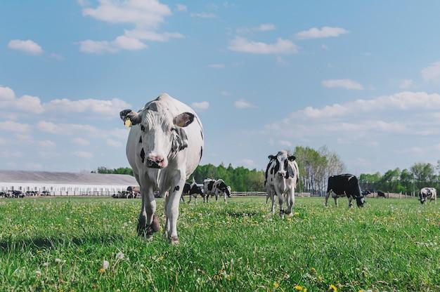 空と緑の芝生に対する牛。