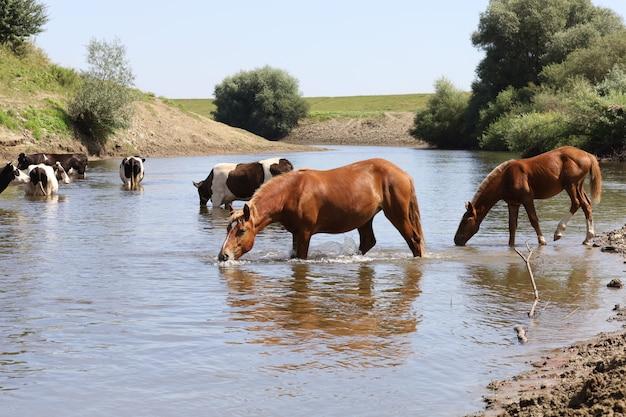 夏の川の水の中の牛と馬