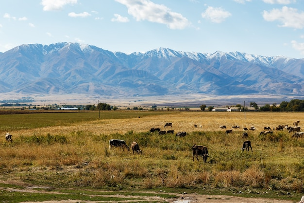 カザフスタンの山の近くの牧草地で牛や羊が放牧している