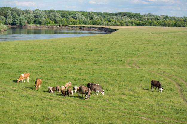 Коровы и овцы пасутся в поле у реки