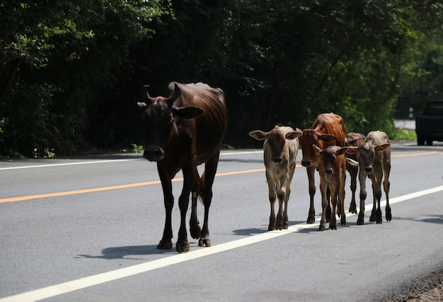 Cows and baby cows walking on highway animal farm at countryside of thailand