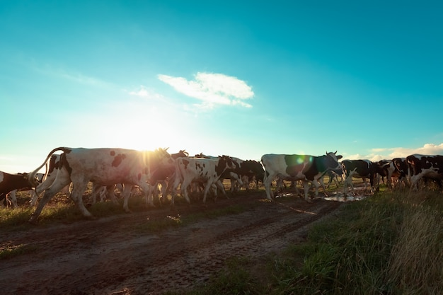 Cows of the collective farm on the road in the sunlight at sunset