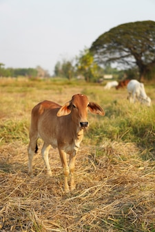 Cows in the country of thailand