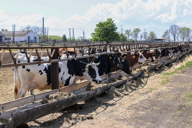 Коровы молочной фермы на открытом воздухе. коровы едят корм. концепция скота.