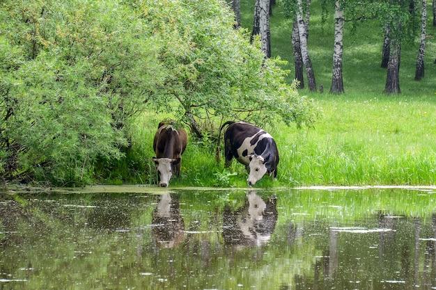 牛は牧草地の川から水を飲みます