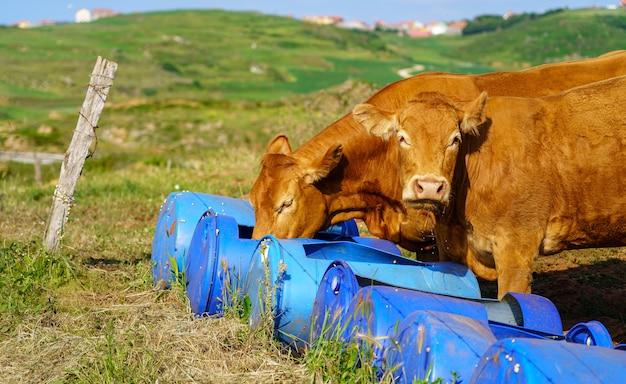 Коровы едят корм на открытом воздухе в зеленом поле