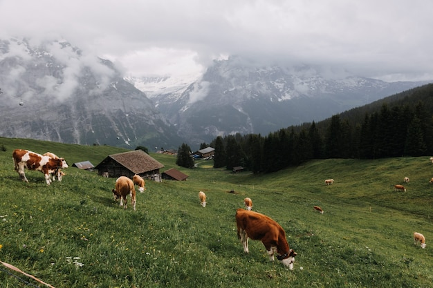 Cows eating grass in a grass field with small cabins surrounded by trees and mountains