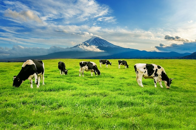 Mucche che mangiano erba lussureggiante sul campo verde davanti al monte fuji, giappone.