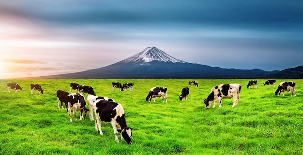 日本の富士山の前の緑の野原で青々とした草を食べる牛。
