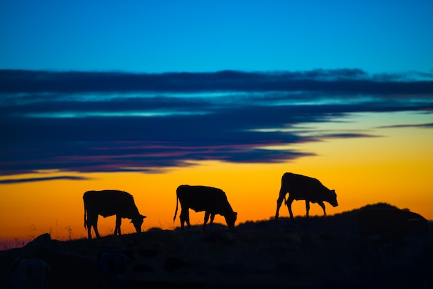 Cows eating in a mountain at sunset