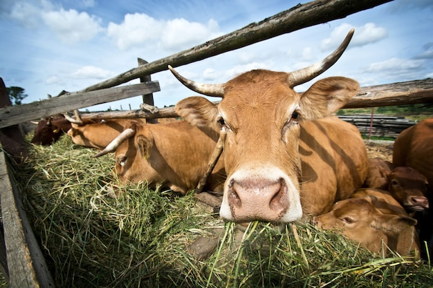 Cows eating straw.