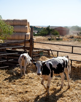 Cows in the fence on a farm