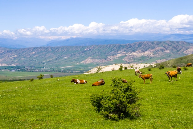 Cows in the field, farming and agriculture in village of georgia, daylight and outdoor