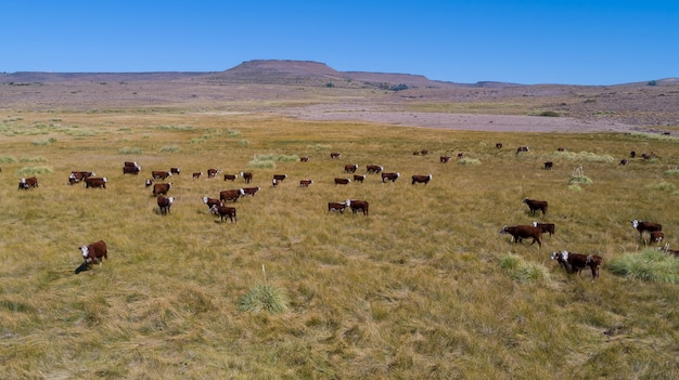 Cows in the field take aerial, in argentina