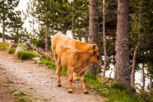 Cows in the forest in la cerdanya, pyrenees, spain.