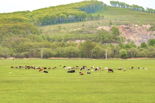 Коровы пасутся и отдыхают на весеннем или летнем лугу со свежей ярко-зеленой травой.