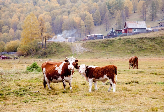 Cows graze in the autumn in altai