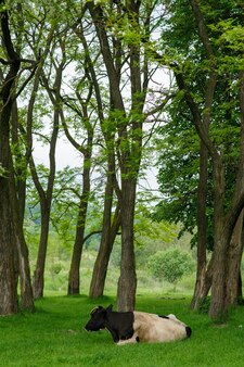 牛は牧草地の木々の間を自由に放牧します。