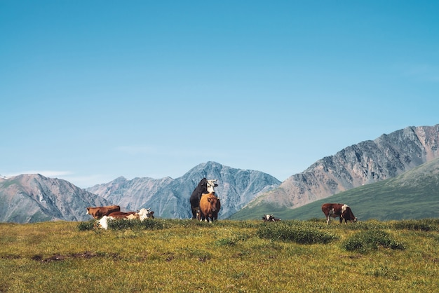 Cows graze in grassland in valley against wonderful giant mountains in sunny day.