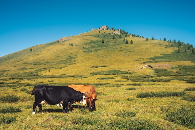 Cows graze in grassland in valley against wonderful giant mountains in sunny day
