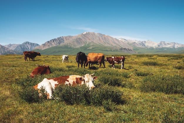 Cows graze in grassland in valley