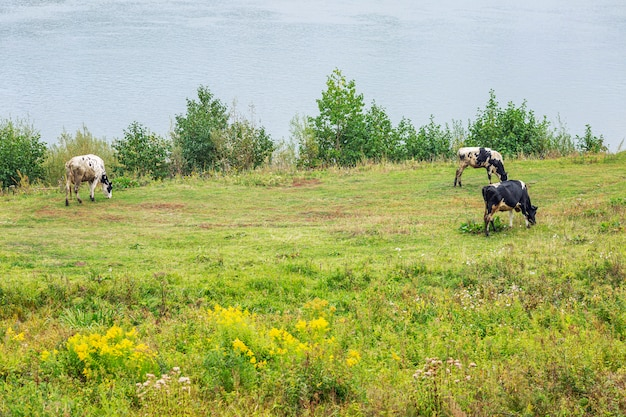 Cows graze in a green meadow on the banks of the river and pluck grass.