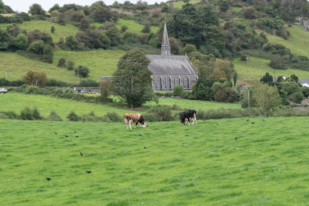 Cows graze on a green summer meadow . rural landscapes with cows on summer pasture