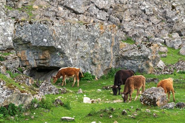 높은 산의 푸른 초원에서 풀을 뜯는 소