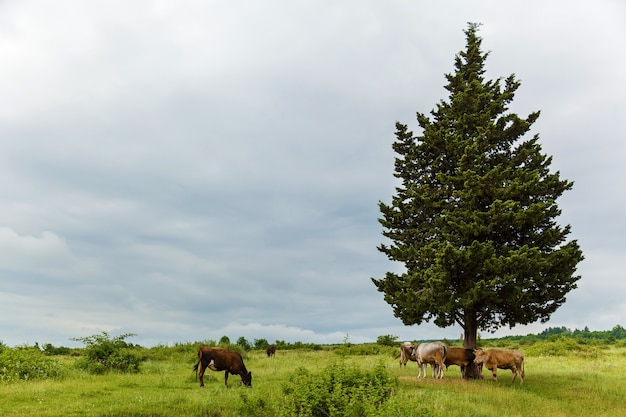 Коровы пасутся на лугу возле дерева. коровы пасутся. путешествие в грузию