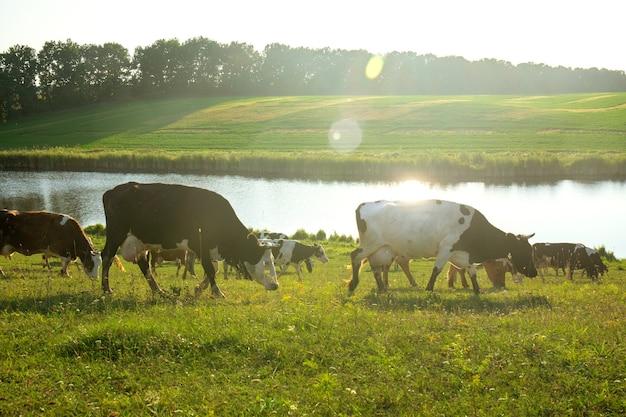 석양의 광선에 목초지에서 풀을 뜯는 소