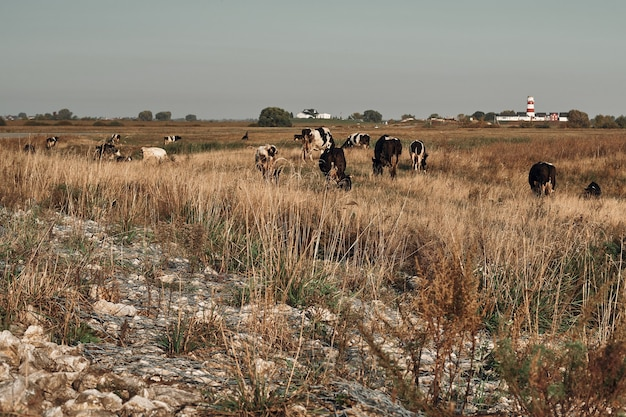 牛は野原で放牧します。初秋。牛乳生産。