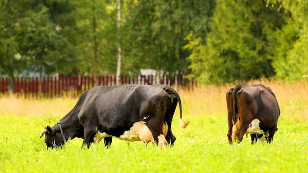 Коровы пасутся на лугу и едят траву. прекрасная картина деревенской жизни.
