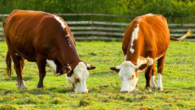 Коровы пасутся на лугу и едят траву.