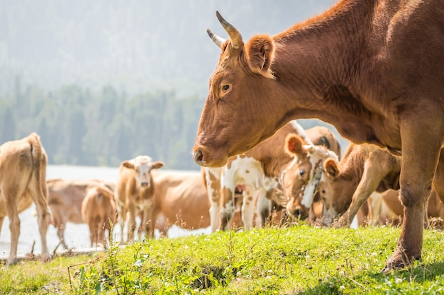 Cows graze on the lake shore. close-up portrait of a red bull