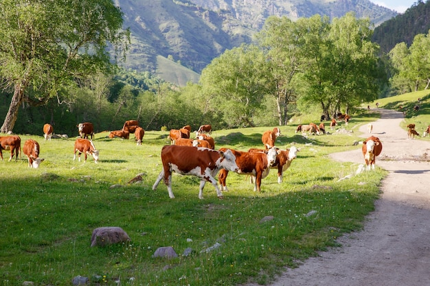 Cows graze in the mountains