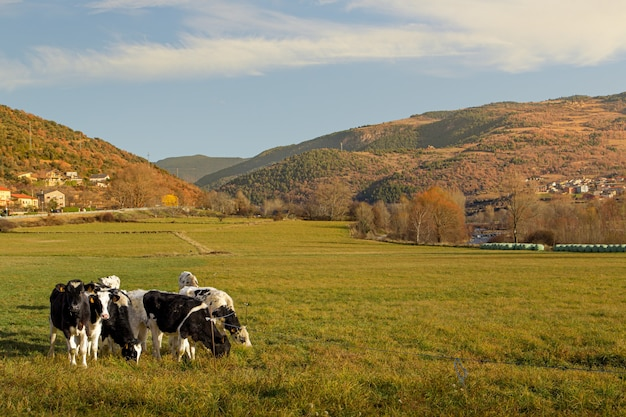 Cows grazing on green field at the mountains