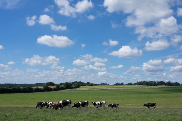 Cows grazing on a green field