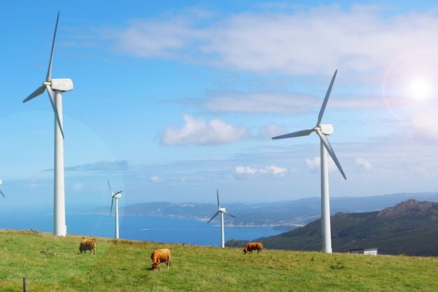 Cows grazing in green mountains between wind turbines of cape ortegal, galicia, spain