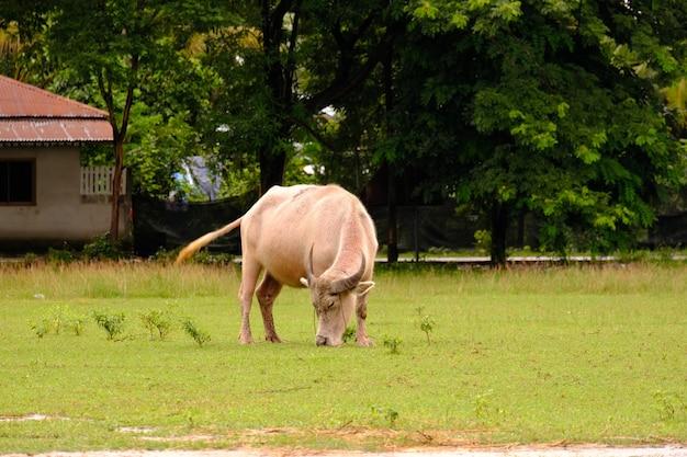 Коровы пасутся на лугу