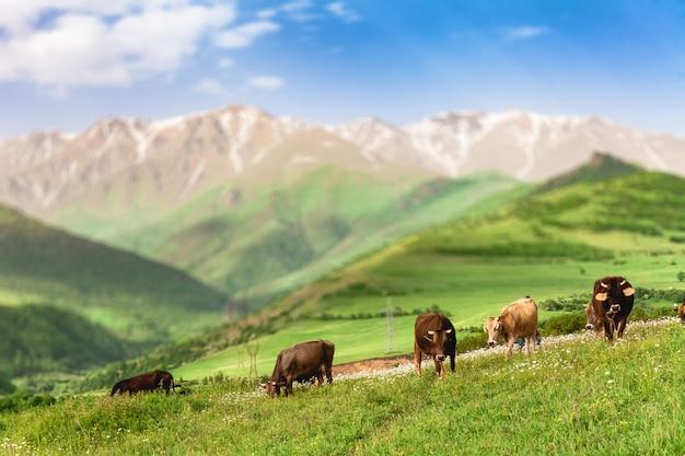 山で放牧する牛
