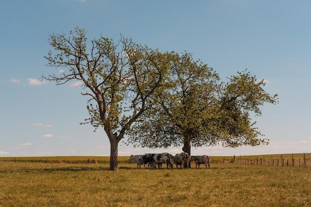 木々の下の牧草地で放牧している牛