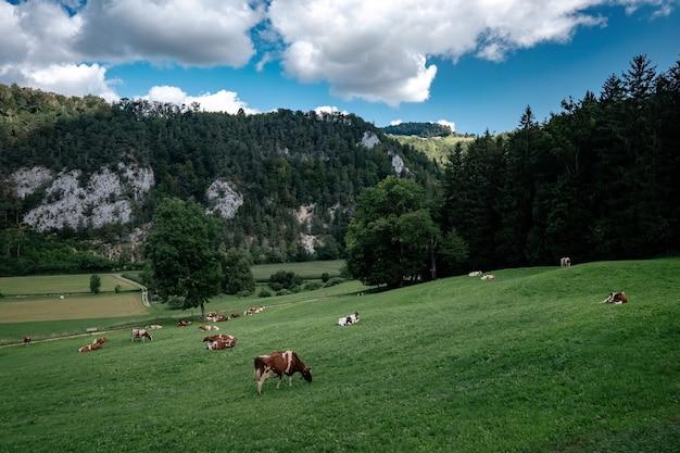 チロルアルプスで放牧している牛