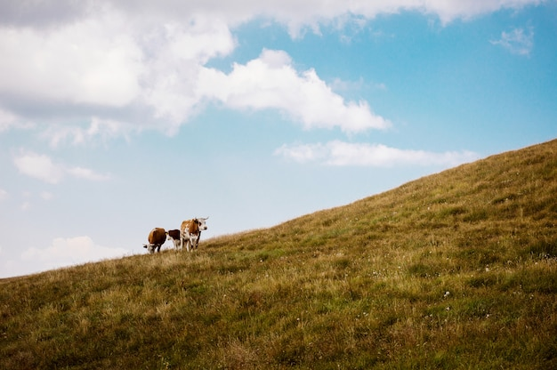 Cows grazing on a lovely green pasture.