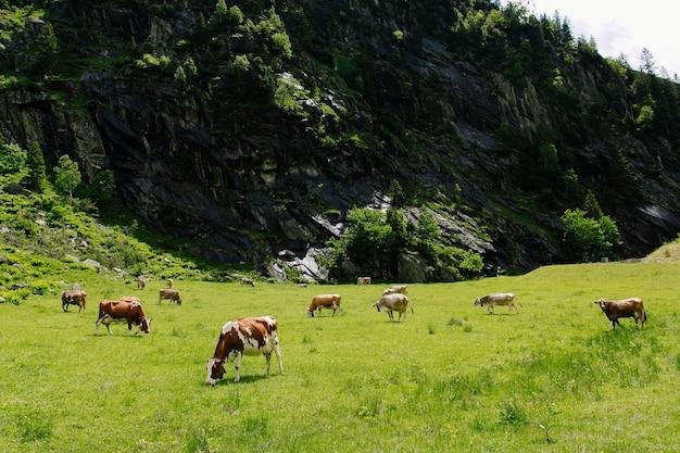 Коровы пасутся на зеленом поле. коровы на альпийских лугах. красивый альпийский пейзаж